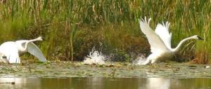 Swans2016